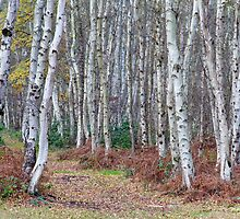 Silver birch wood in autumn by BeardyGit