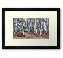 Silver birch wood in autumn Framed Print