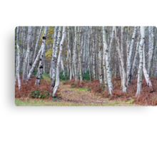 Silver birch wood in autumn Canvas Print
