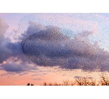 Murmaration of Starlings, November 5th 2011 Photographic Print