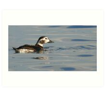 The long-tailed duck Art Print