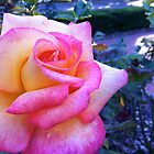 pink-blush rose and evening light. by Shymala Dason