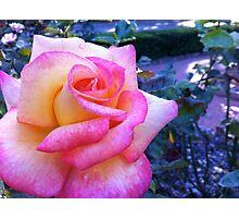 pink-blush rose and evening light. Photographic Print