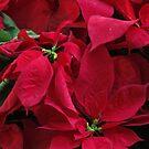 Poinsettia I - Noche Buena - Christmas Star, Puerto Vallarta, Mexico by PtoVallartaMex