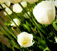 White tulips by Denis Charbonnier
