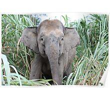 Borneo Elephant Poster