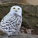 Mellow Yellows - Snowy Owl by Jim Cumming
