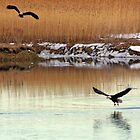 Bald eagles on the Merrimack River by Jeremy D'Entremont