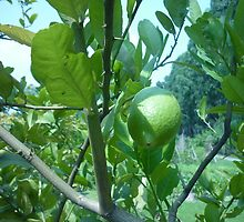 Sun Caressing Lemon Tree by Joseph Green