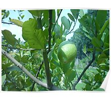 Sun Caressing Lemon Tree Poster