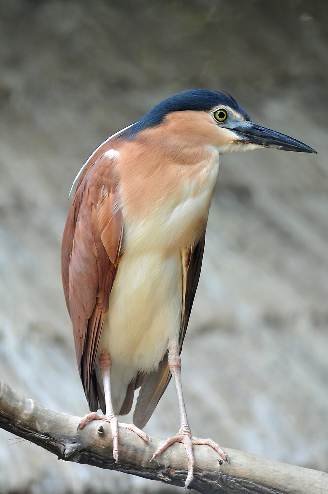 Nankeen Night Heron - Singapore by Ralph de Zilva