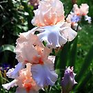 Bearded Iris by Asoka