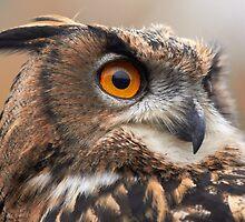 Long Eared Eagle Owl by anniek1947