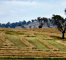 Windrowing Canola ~ Harden NSW by Rosalie Dale