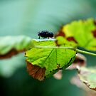 The Fly by Zolton