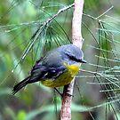 Eastern Yellow Robin by EnviroKey