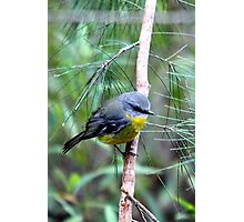 Eastern Yellow Robin Photographic Print