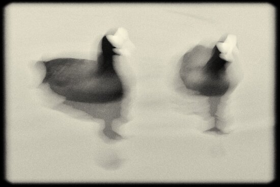 Coots by Lenka