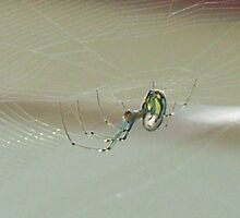 An orbweaver spider... by Cindy Rogers