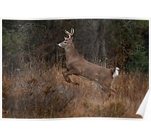 Early Morning Buck - White-tailed Deer Poster