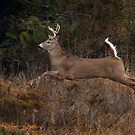 Early Morning Buck 2 - White-tailed Deer by Jim Cumming