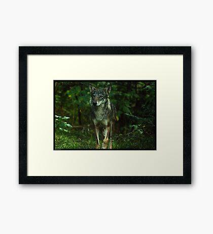 Italian Wolf Framed Print