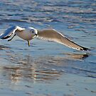 Low Gull by Robin Lee