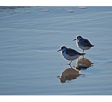 Piping Plovers in Salvo Photographic Print