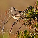 Mockingbird in Salvo by Robin Black