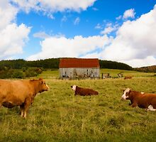 Cows of Mabou by kenmo