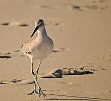 Dainty Willet by Robin Lee