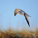 Soaring Gull by Robin Lee