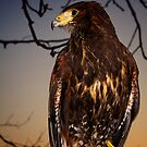 Harris Hawk by Chris Cherry