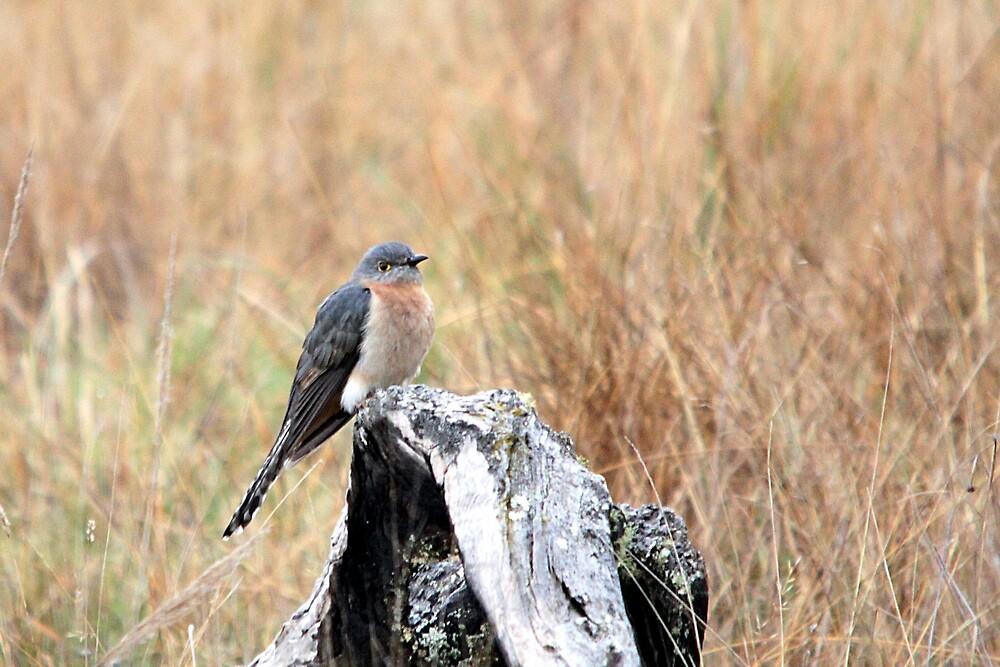 Fan-tailed Cuckoo by EnviroKey