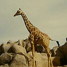 Giraffe iPhone Case by Judi FitzPatrick