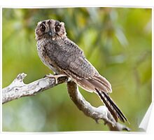 Australian Owlet Nightjar Poster