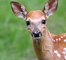 White-tailed deer fawn by Alinka