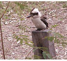 On The lookout (Kookaburra) Photographic Print