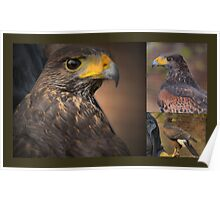 The Majesty of Falconry Poster