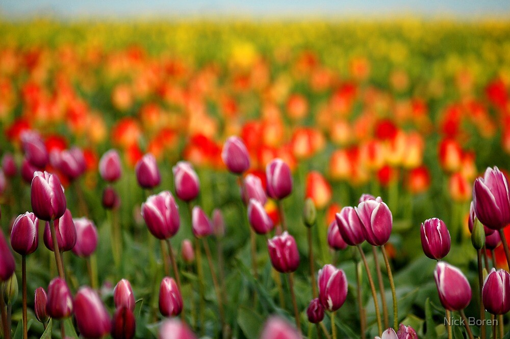 Layers Of Tulips by Nick Boren
