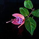 Fuchsia XXIII by Tom Newman