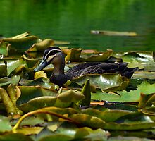 Lilypad Duck by rafstardesigns