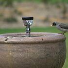 Thirsty bird by darrenbradshaw