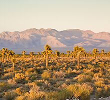 Joshua Trees Near Area 51 by Henry Plumley