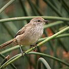 Little Grassbird - Megalurus gramineus by Barb Leopold