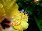 Yellow Hibiscus by Irina777