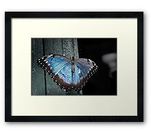 Blue Morph at Rest Framed Print