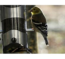 Golden Finch Photographic Print