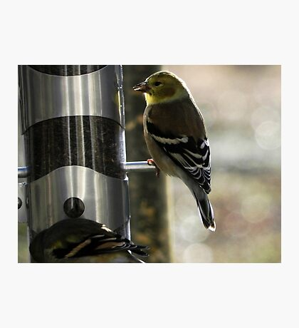 Golden Finch Photographic Print