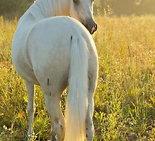 Paso Fino horse in the morning by Manfred Grebler